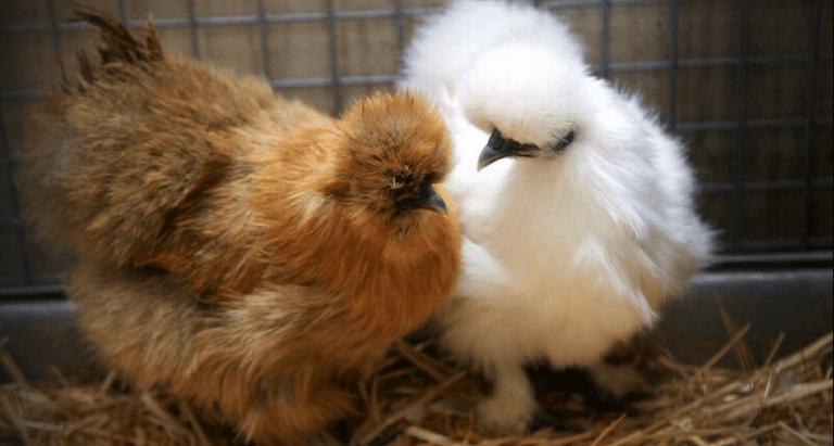 A chicken story...